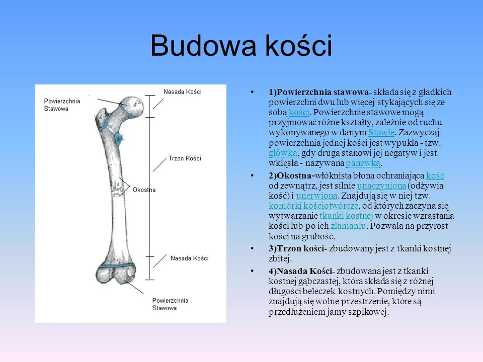 Budowa kości 1)Powierzchnia stawowa- składa się z gładkich powierzchni dwu lub więcej stykających się ze sobą kości. Powierzchnie stawowe mogą przyjmo