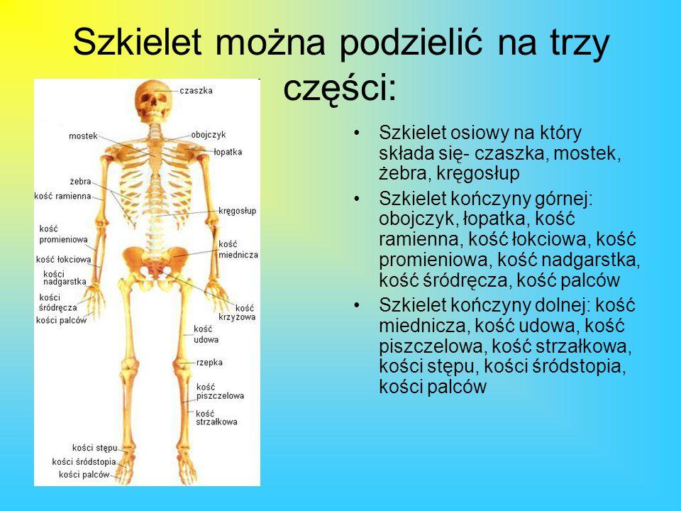 Szkielet można podzielić na trzy części: Szkielet osiowy na który składa się- czaszka, mostek, żebra, kręgosłup Szkielet kończyny górnej: obojczyk, ło