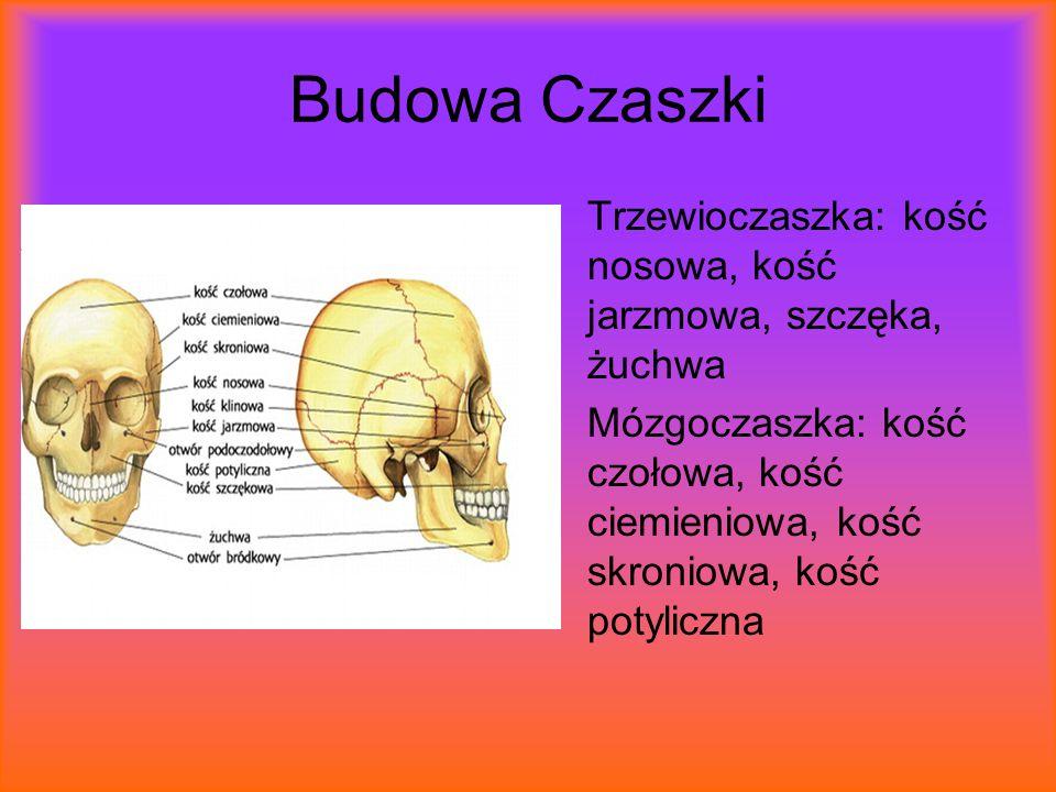 Budowa Czaszki Trzewioczaszka: kość nosowa, kość jarzmowa, szczęka, żuchwa Mózgoczaszka: kość czołowa, kość ciemieniowa, kość skroniowa, kość potylicz