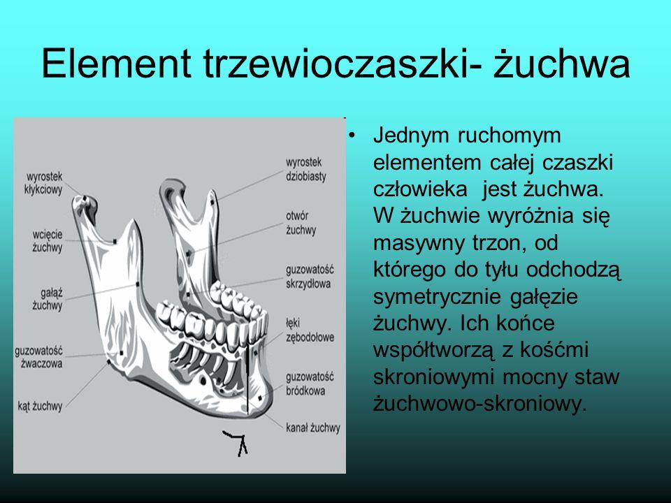 Element trzewioczaszki- żuchwa Jednym ruchomym elementem całej czaszki człowieka jest żuchwa. W żuchwie wyróżnia się masywny trzon, od którego do tyłu