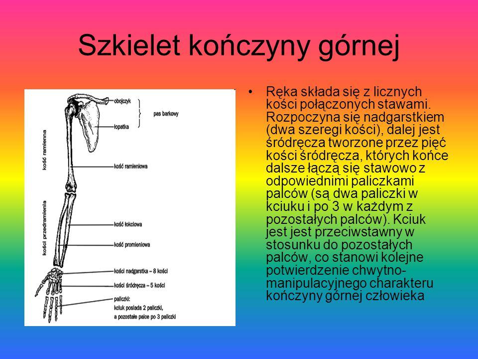Szkielet kończyny górnej Ręka składa się z licznych kości połączonych stawami. Rozpoczyna się nadgarstkiem (dwa szeregi kości), dalej jest śródręcza t