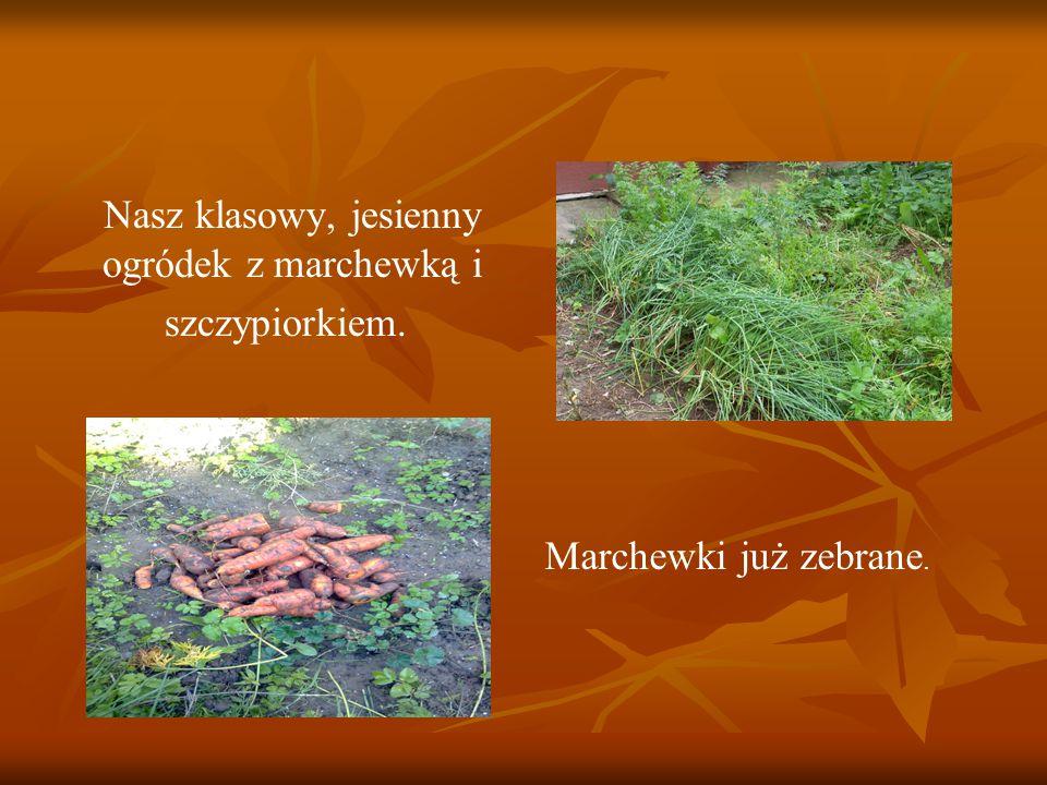 Nasz klasowy, jesienny ogródek z marchewką i szczypiorkiem. Marchewki już zebrane.