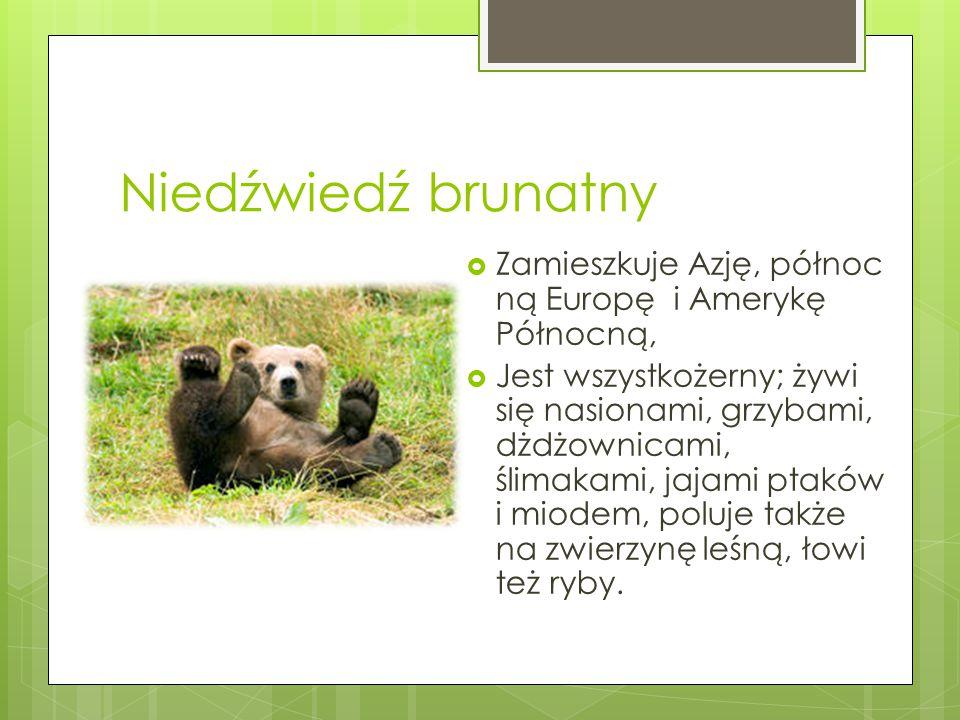 Niedźwiedź brunatny  Zamieszkuje Azję, północ ną Europę i Amerykę Północną,  Jest wszystkożerny; żywi się nasionami, grzybami, dżdżownicami, ślimaka