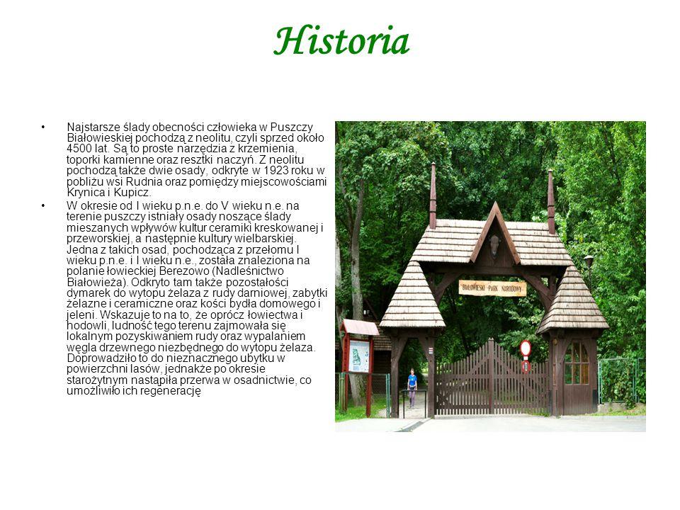 Historia Najstarsze ślady obecności człowieka w Puszczy Białowieskiej pochodzą z neolitu, czyli sprzed około 4500 lat. Są to proste narzędzia z krzemi
