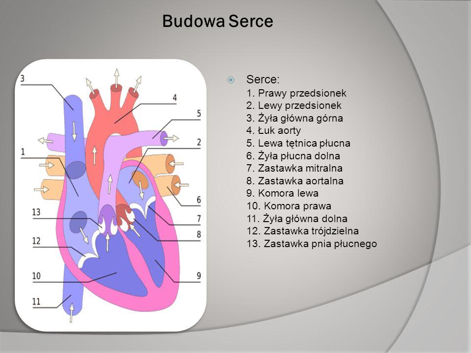 Budowa Serce SSerce: 1. Prawy przedsionek 2. Lewy przedsionek 3. Żyła główna górna 4. Łuk aorty 5. Lewa tętnica płucna 6. Żyła płucna dolna 7. Zasta