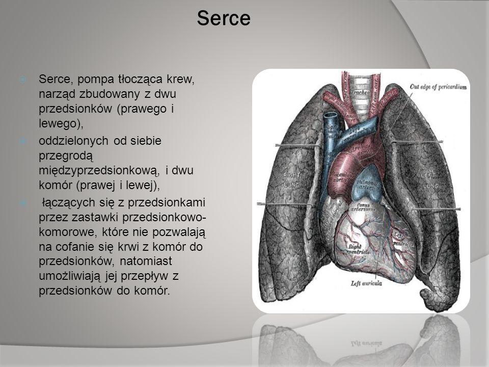 Serce  Serce, pompa tłocząca krew, narząd zbudowany z dwu przedsionków (prawego i lewego),  oddzielonych od siebie przegrodą międzyprzedsionkową, i