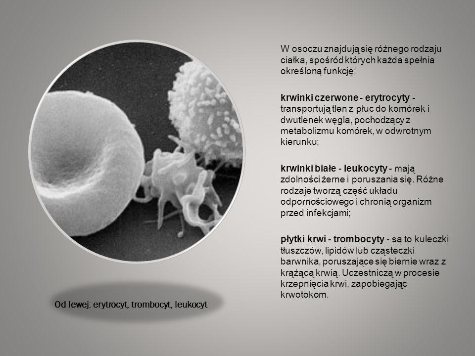 Od lewej: erytrocyt, trombocyt, leukocyt. W osoczu znajdują się różnego rodzaju ciałka, spośród których każda spełnia określoną funkcję: krwinki czerw