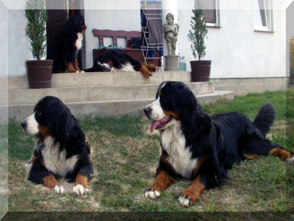 Pochodzenie Wywodzi się od wiejskich psów trzymanych w dolinach alpejskich w Szwajcarii, gdzie był użytkowany jako pies stróżujący, pies zaganiający do bydła i pies zaprzęgowy do przewożenia baniek z mlekiem i serami.