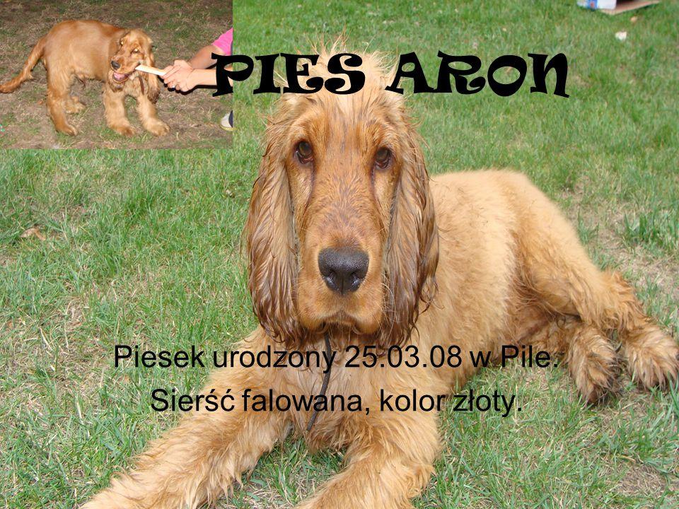 PIES ARON Piesek urodzony 25.03.08 w Pile. Sierść falowana, kolor złoty.