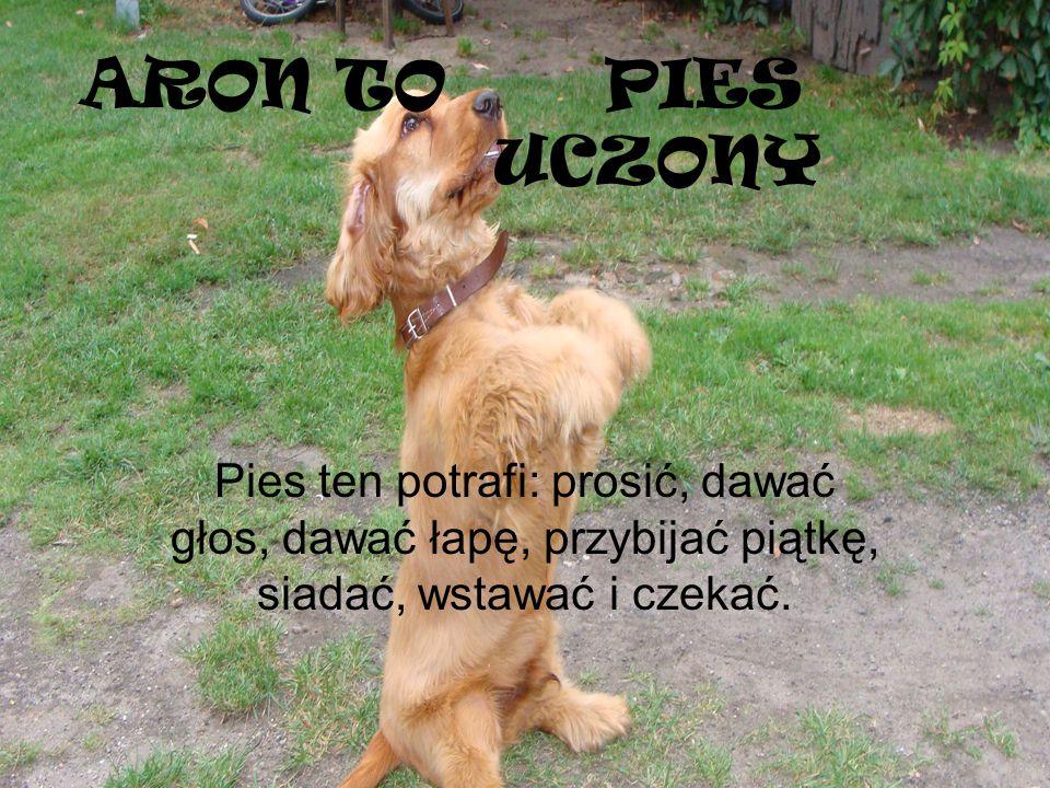 ARON TOPIES UCZONY Pies ten potrafi: prosić, dawać głos, dawać łapę, przybijać piątkę, siadać, wstawać i czekać.