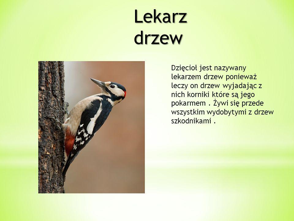 Lekarz drzew Dzięcioł jest nazywany lekarzem drzew ponieważ leczy on drzew wyjadając z nich korniki które są jego pokarmem. Żywi się przede wszystkim