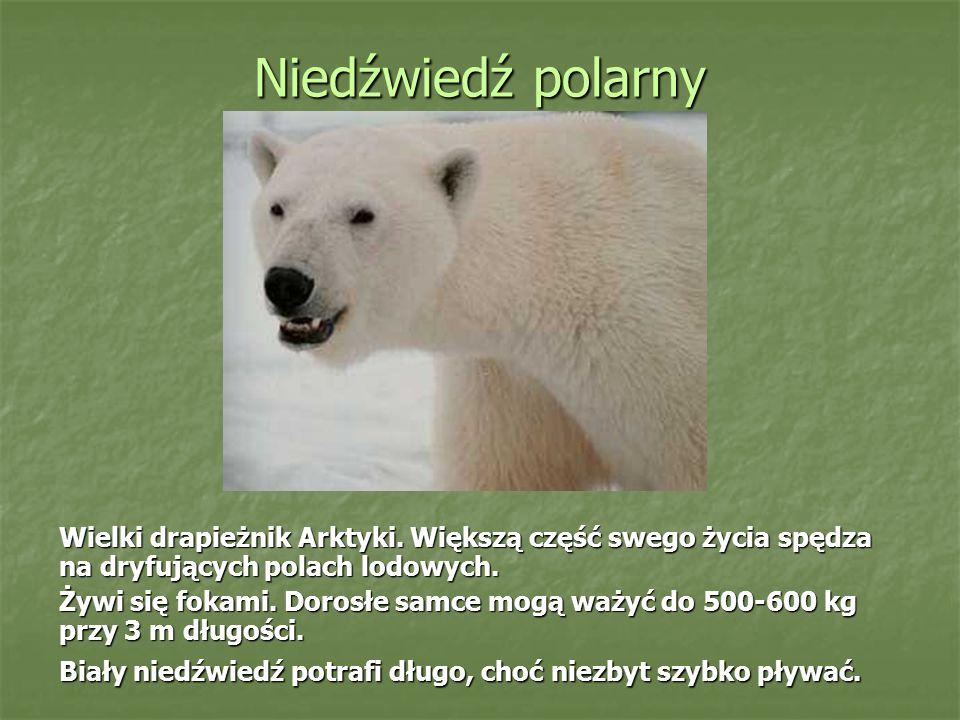 Niedźwiedź polarny Wielki drapieżnik Arktyki. Większą część swego życia spędza na dryfujących polach lodowych. Żywi się fokami. Dorosłe samce mogą waż