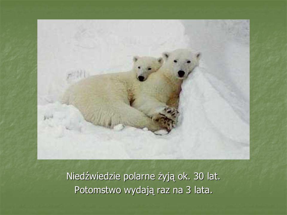 Niedźwiedzie polarne żyją ok. 30 lat. Potomstwo wydają raz na 3 lata.