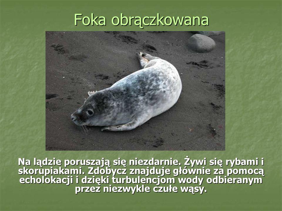 Foka obrączkowana Na lądzie poruszają się niezdarnie. Żywi się rybami i skorupiakami. Zdobycz znajduje głównie za pomocą echolokacji i dzięki turbulen