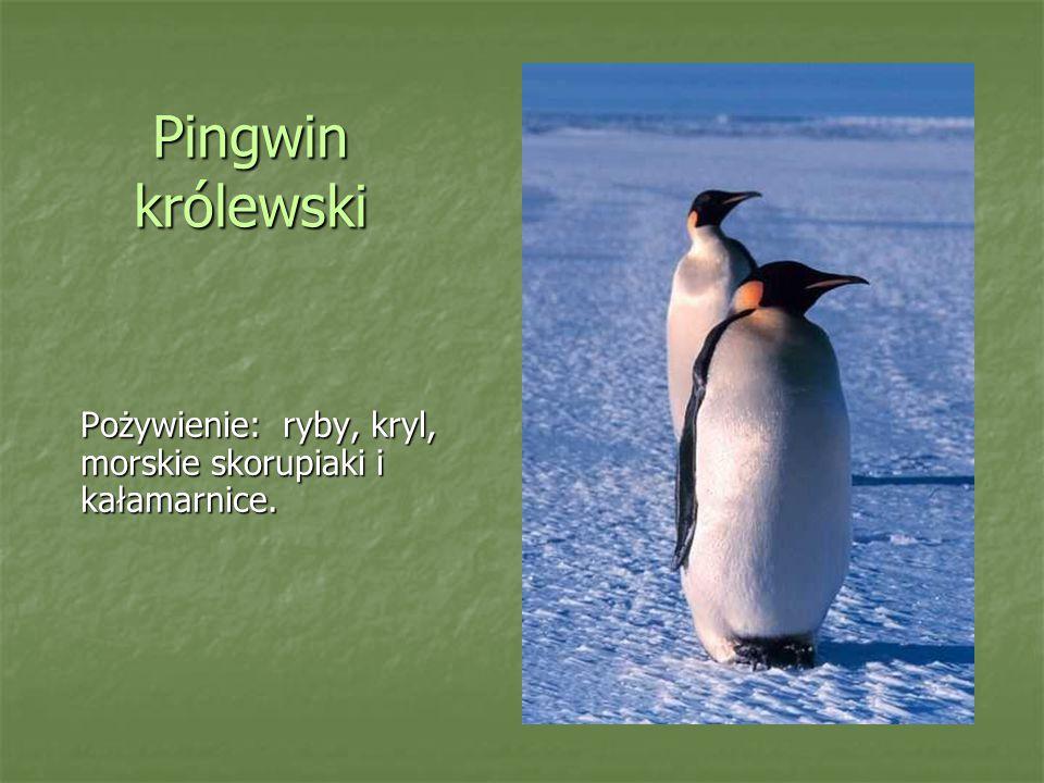 Pingwin królewski Pożywienie: ryby, kryl, morskie skorupiaki i kałamarnice.