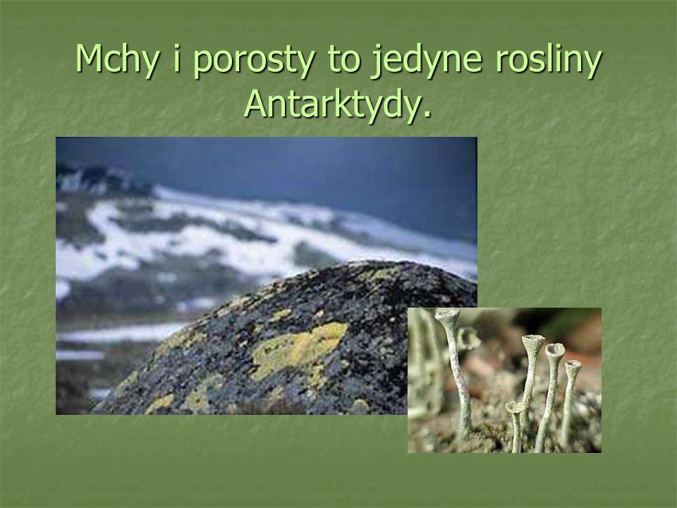 Mchy i porosty to jedyne rosliny Antarktydy.