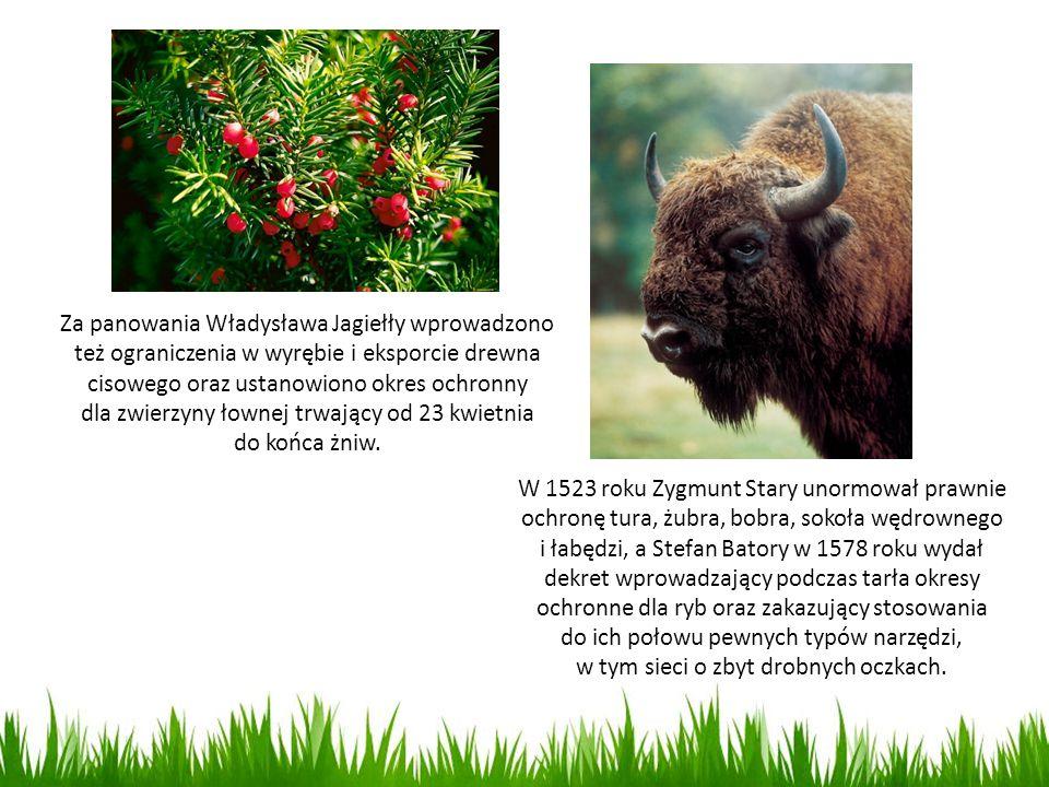 Za panowania Władysława Jagiełły wprowadzono też ograniczenia w wyrębie i eksporcie drewna cisowego oraz ustanowiono okres ochronny dla zwierzyny łown