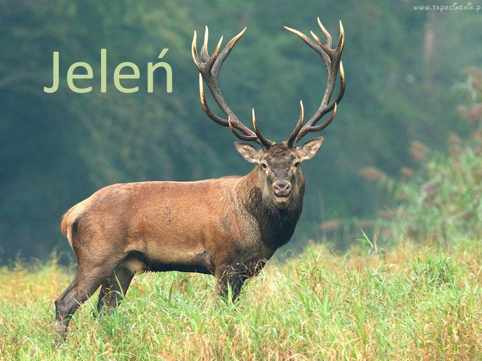 Rodzina: Jeleń należy do rodziny jeleniowatych.Wielkość: Dł.