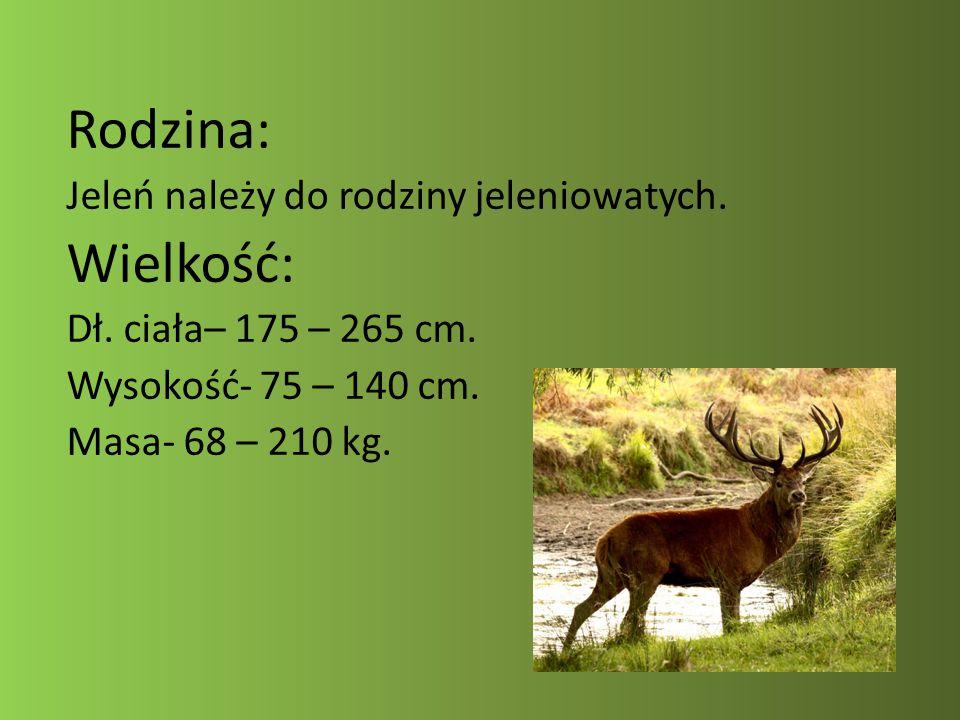 Rodzina: Jeleń należy do rodziny jeleniowatych. Wielkość: Dł. ciała– 175 – 265 cm. Wysokość- 75 – 140 cm. Masa- 68 – 210 kg.