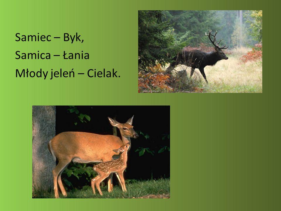 Ochrona: Naturalnymi wrogami jeleni w Polsce są wilk, ryś i niedźwiedź.