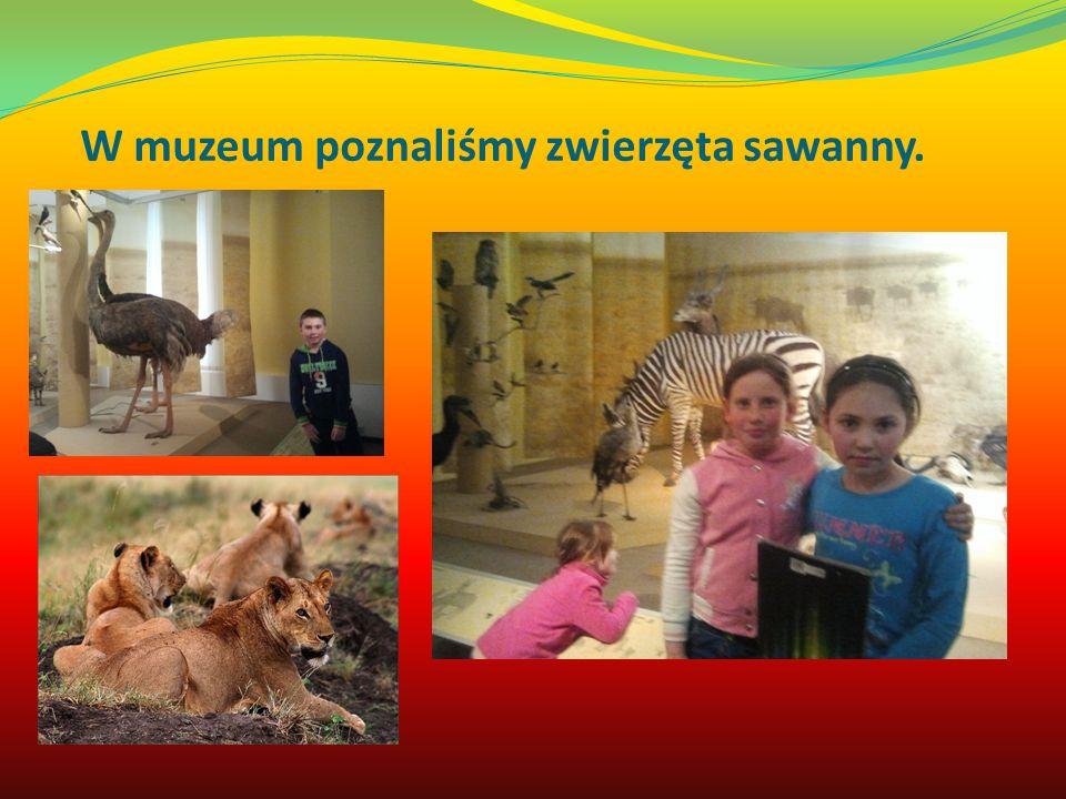 W muzeum poznaliśmy zwierzęta sawanny.