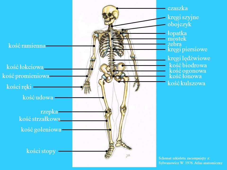 Kości czaszki Kości twarzy 1 2 3 4 7 5 7 8 6 8 7 66 5 2 3 2 1 3 Kości czaszki: 1 - kość czołowa 2 - kość ciemieniowa 3 - kość skroniowa 4 - kość potyliczna Kości twarzy: 5 - kość nosowa 6 - kość jarzmowa 7 - kość szczękowa 8 - żuchwa