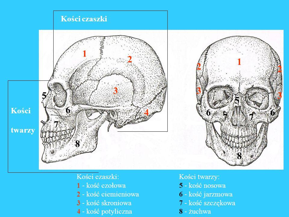 Kończyna górna Kość ramienna koniec bliższy głowa kości ramiennej trzon koniec dalszy Kość udowa Kończyna dolna koniec bliższy głowa kości udowej trzon koniec dalszy