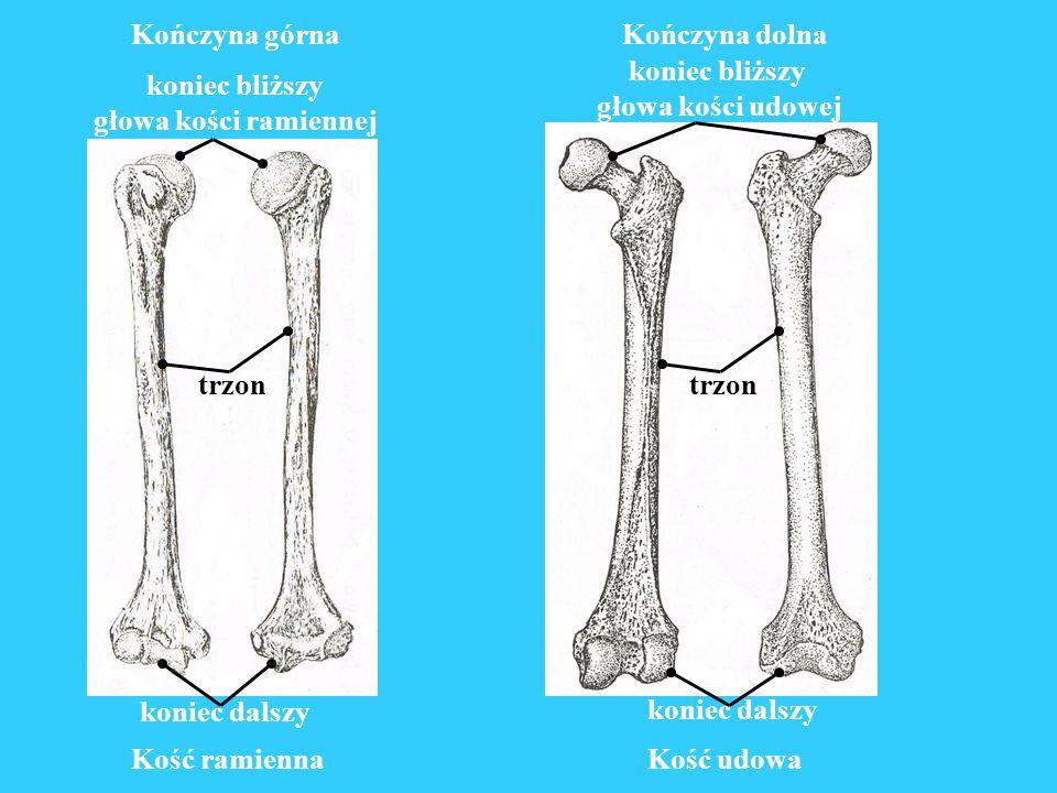 trzon Kończyna górna koniec dalszy koniec bliższy kość promieniowa kość łokciowa Kończyna dolna koniec dalszy koniec bliższy przód tył kość strzałkowa kość goleniowa