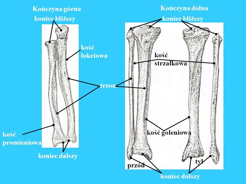 Dłoń kości śródręcza kości nadgarstka kości palców kości stępu kości śródstopia Stopa