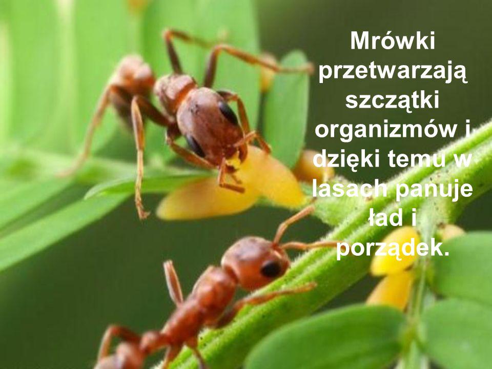 Mrówki przetwarzają szczątki organizmów i dzięki temu w lasach panuje ład i porządek.