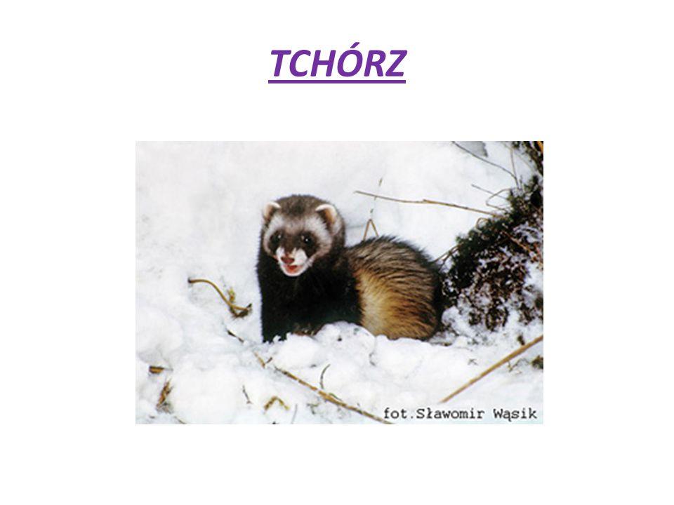 WYGLĄD Tchórz ma długość ciała 30-46 cm, a długość ogona 11-17 cm.