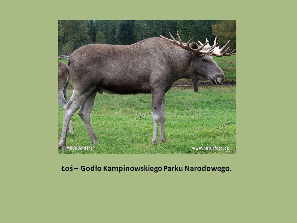Łoś – Godło Kampinowskiego Parku Narodowego.