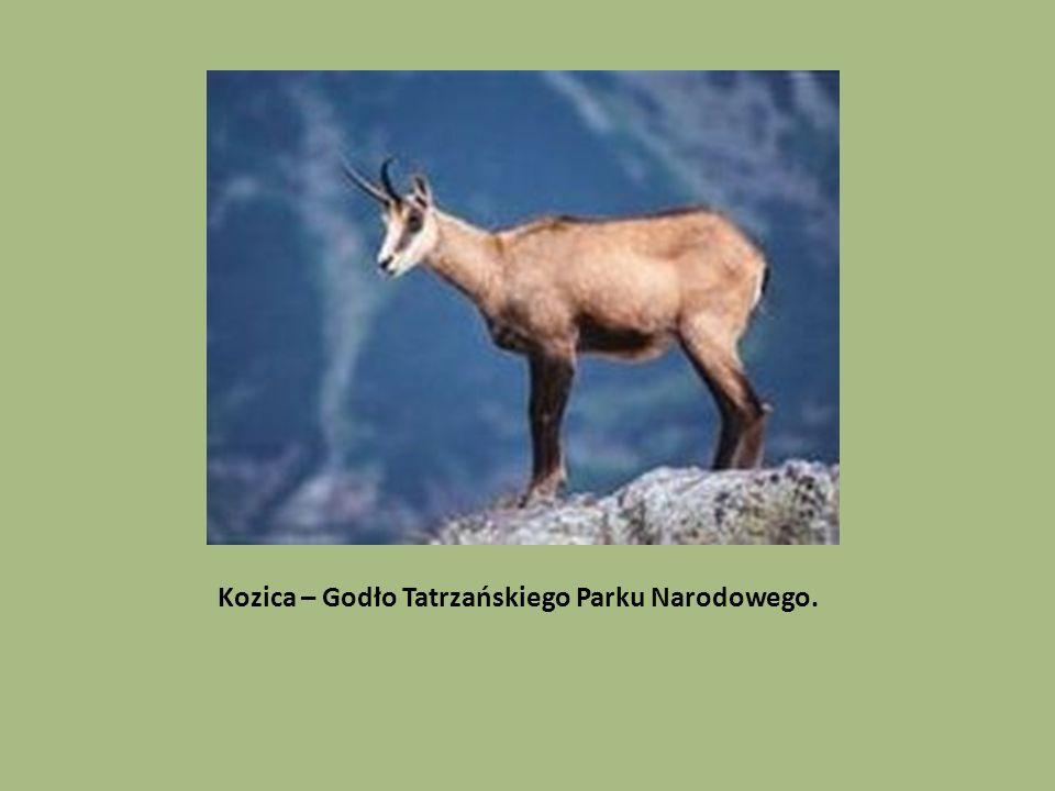 Kozica – Godło Tatrzańskiego Parku Narodowego.