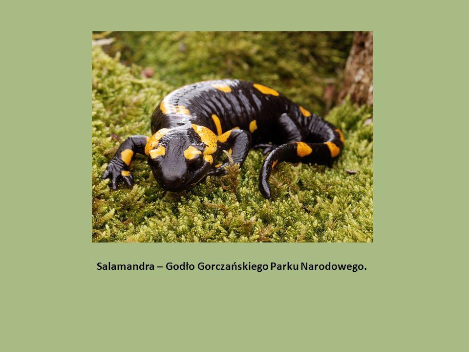 Salamandra – Godło Gorczańskiego Parku Narodowego.
