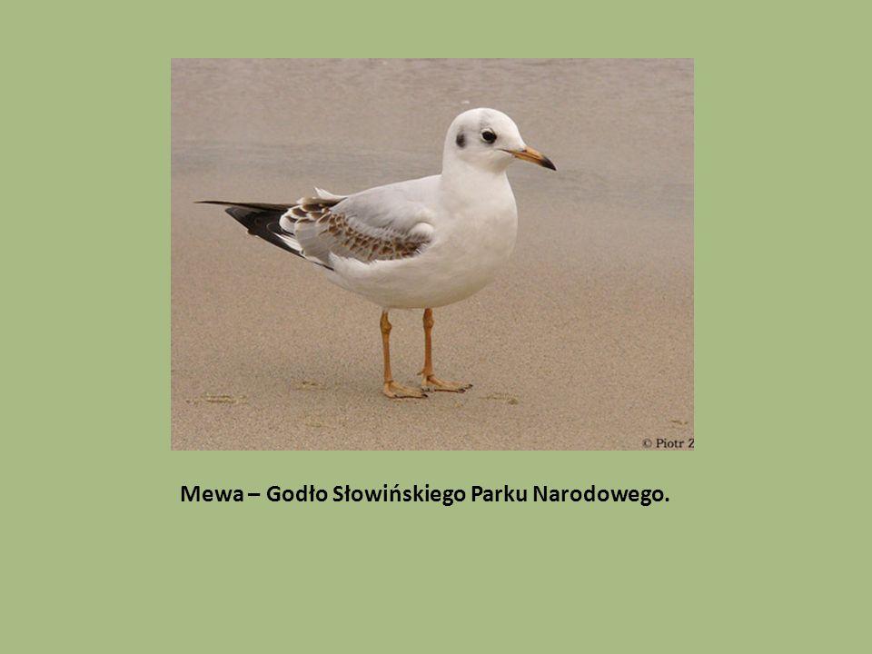 Mewa – Godło Słowińskiego Parku Narodowego.
