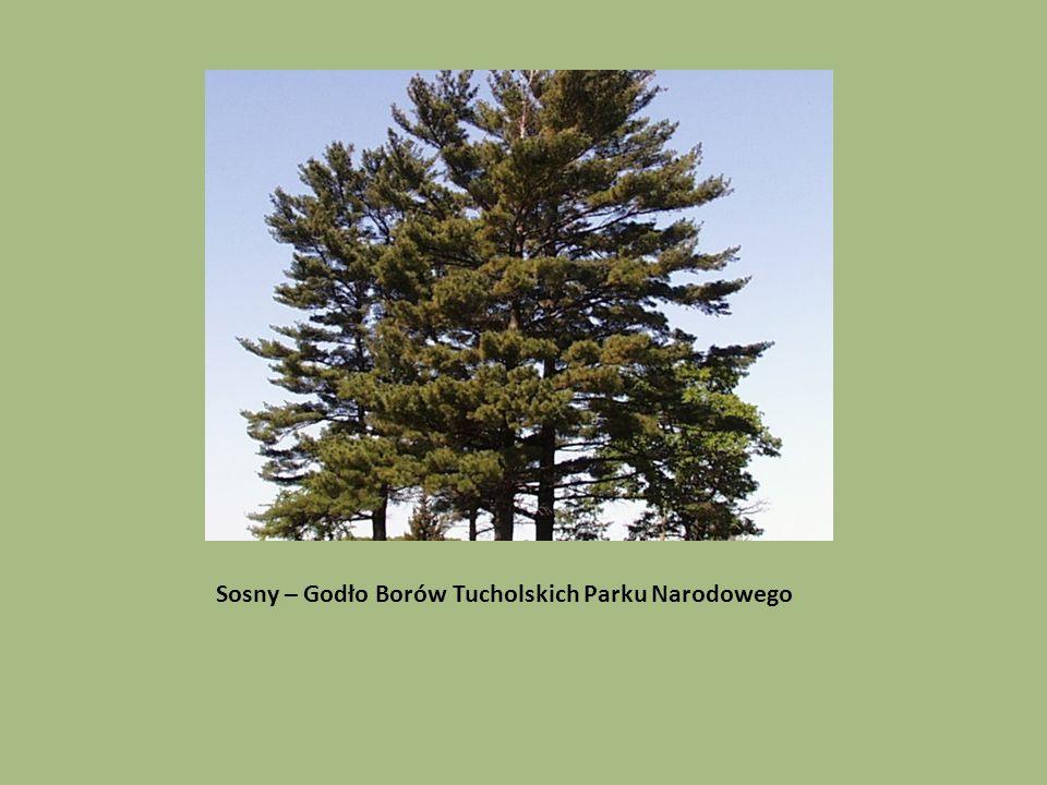Sosny – Godło Borów Tucholskich Parku Narodowego