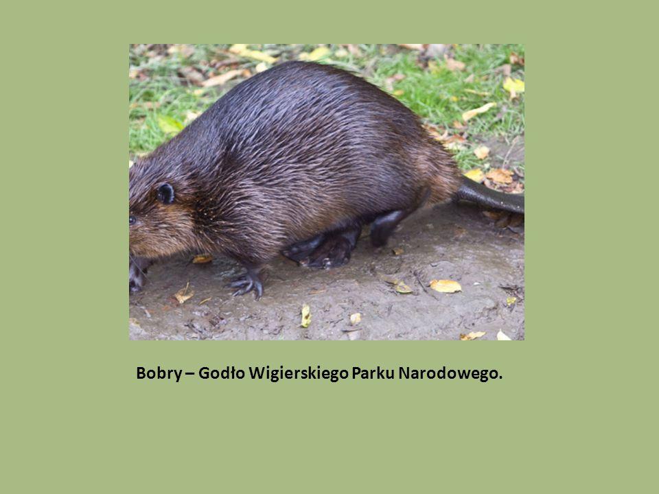 Bobry – Godło Wigierskiego Parku Narodowego.