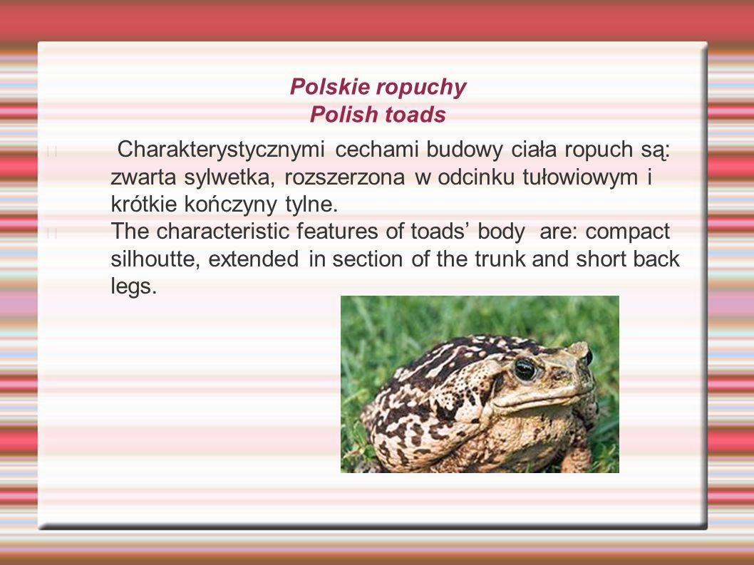 Polskie ropuchy Polish toads Charakterystycznymi cechami budowy ciała ropuch są: zwarta sylwetka, rozszerzona w odcinku tułowiowym i krótkie kończyny