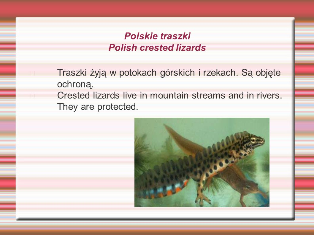 Polskie traszki Polish crested lizards Traszki żyją w potokach górskich i rzekach. Są objęte ochroną. Crested lizards live in mountain streams and in