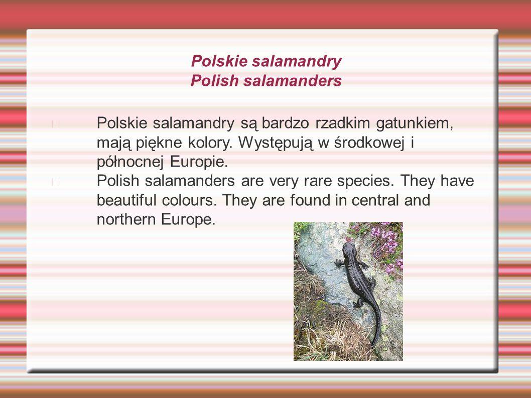 Polskie salamandry Polish salamanders Polskie salamandry są bardzo rzadkim gatunkiem, mają piękne kolory. Występują w środkowej i północnej Europie. P