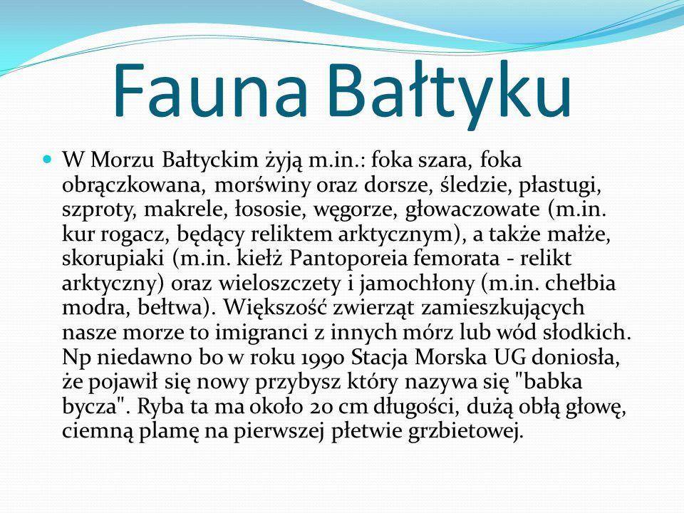 Fauna Bałtyku W Morzu Bałtyckim żyją m.in.: foka szara, foka obrączkowana, morświny oraz dorsze, śledzie, płastugi, szproty, makrele, łososie, węgorze, głowaczowate (m.in.