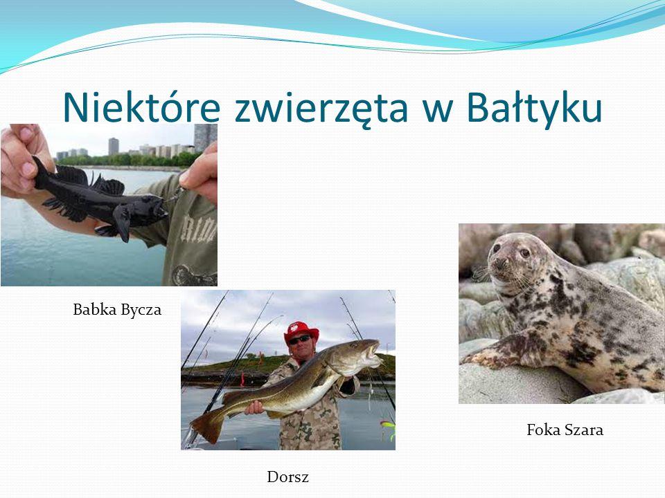 Niektóre zwierzęta w Bałtyku Babka Bycza Foka Szara Dorsz