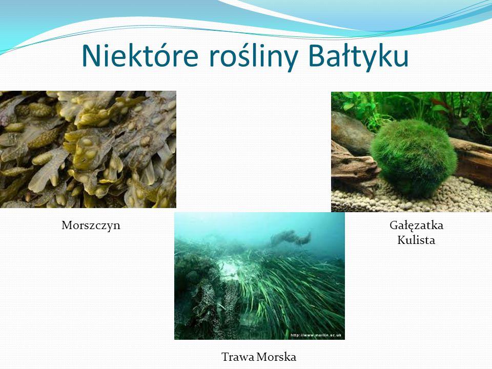Niektóre rośliny Bałtyku MorszczynGałęzatka Kulista Trawa Morska