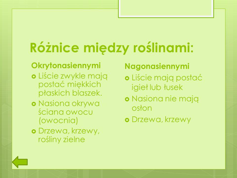 Różnice między roślinami: Okrytonasiennymi  Liście zwykle mają postać miękkich płaskich blaszek.  Nasiona okrywa ściana owocu (owocnia)  Drzewa, kr