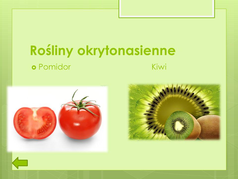 Rośliny okrytonasienne  Pomidor Kiwi