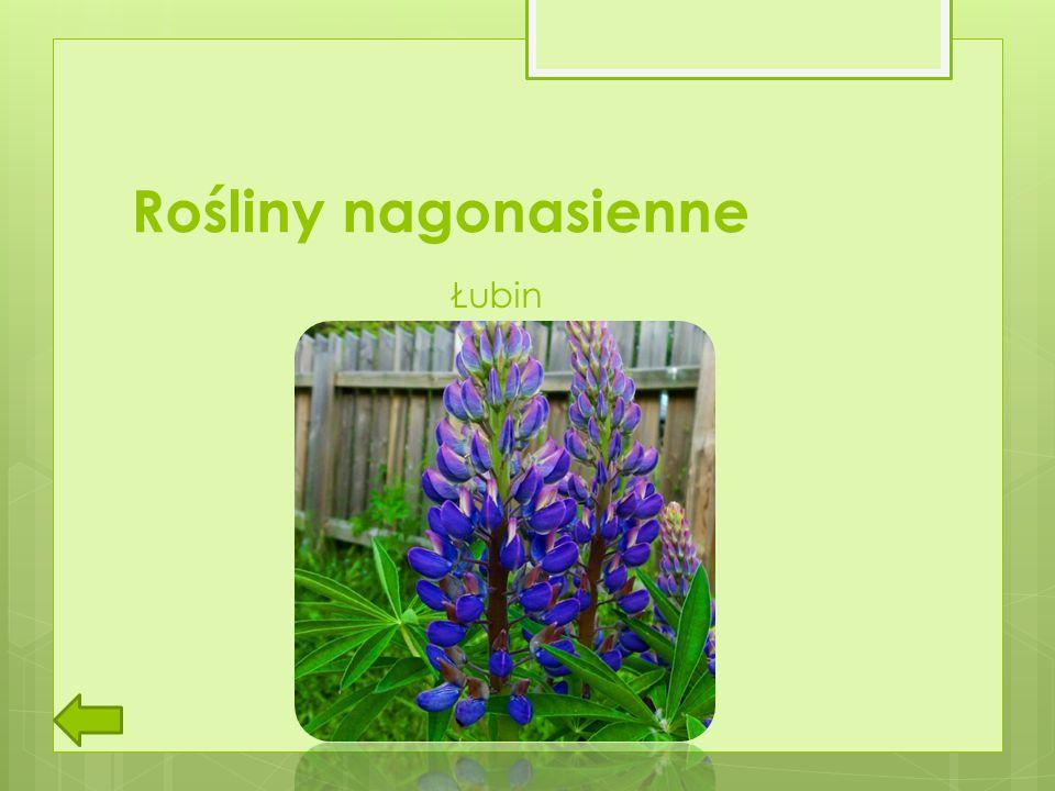 Rośliny nagonasienne Łubin