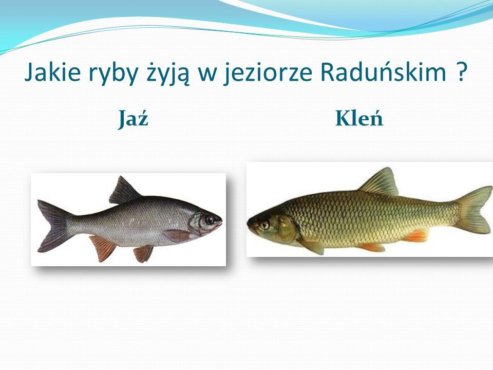 Jezioro Raduńskie Jest to zespół jezior rynnowych na Pojezierzu Kaszubskim położony na obszarze Kaszubskiego Parku Krajobrazowego. Przepływa przez nie