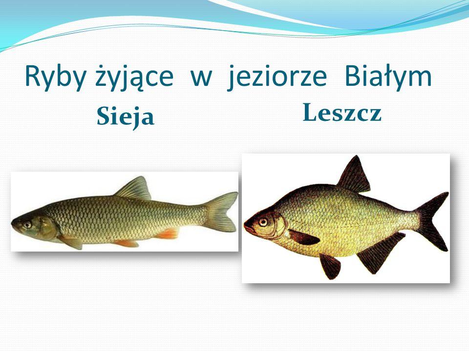 Jezioro Białe Jest to jezioro położone na Pojezierzu Kaszubskim. Położone jest obok wsi Ucisko na północ od Prokowa. Prowadzi tędy również szlak turys