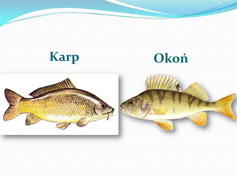 Ryby żyjące w jeziorze Białym Sieja Leszcz