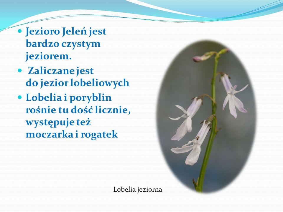 Jest to jezioro położone na Pojezierzu Bytowskim w województwie pomorskim. Jeleń zajmuje powierzchnię 88,9 ha, Służy przede wszystkim rekreacji i tury